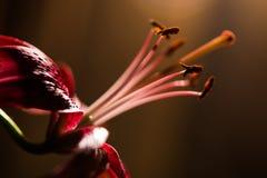 Feche acima do lírio cor-de-rosa Foco seletivo Fotos de Stock Royalty Free
