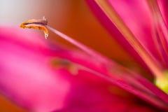Feche acima do lírio cor-de-rosa Foco seletivo Imagens de Stock