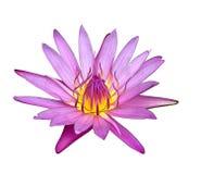 Feche acima do lírio de água ou da flor de lótus de florescência Foto de Stock