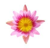 Feche acima do lírio de água ou da flor de lótus de florescência isolado no branco Imagem de Stock