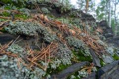 Feche acima do l?quene e de Moss Textures Growing verdes em um fundo da rocha imagem de stock