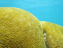 Feche acima do labirinto do coral de cérebro Grooved Fotos de Stock Royalty Free