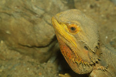 feche acima do lagarto de dragões farpado principal Fotografia de Stock