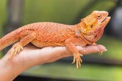 Feche acima do lagarto farpado do australiano de Pogona Vitticeps do dragão Foto de Stock Royalty Free