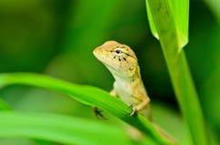 Feche acima do lagarto que descansa na folha Fotos de Stock Royalty Free
