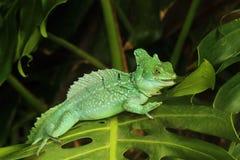 Feche acima do lagarto verde do Basilisk Imagem de Stock