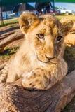 Feche acima do leão do bebê do retrato Fotografia de Stock