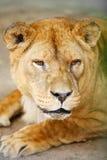 Feche acima do leão na gaiola Imagens de Stock