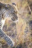 Feche acima do leopardo em Serengeti Imagens de Stock