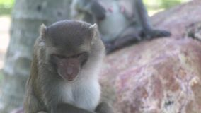 Feche acima do macaco bonito na pedra na selva Macaco do retrato na pele de risco e de limpeza da floresta úmida na floresta trop video estoque