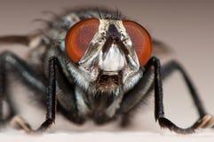 Feche acima do macro de um inseto da mosca Imagens de Stock Royalty Free