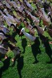 Feche acima do março do pato em África do Sul imagem de stock royalty free