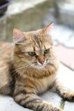 Feche acima do marrom do gato de olhos verdes. Fotos de Stock