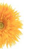 Feche acima do meio áster amarelo artificial da flor. Foto de Stock Royalty Free