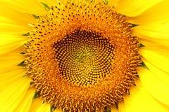 Feche acima do meio da florescência do girassol Imagens de Stock