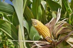 Feche acima do milho no campo Foto de Stock Royalty Free