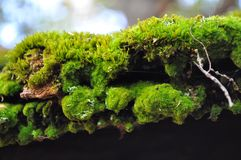 Feche acima do musgo da árvore Imagens de Stock Royalty Free