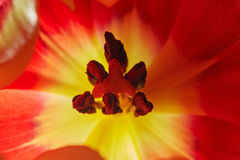 Feche acima do núcleo do tulip Imagem de Stock Royalty Free