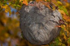 Feche acima do ninho da vespa entre as folhas de outono Imagem de Stock