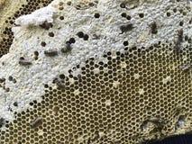 Feche acima do ninho fresco do favo de mel da abelha Fotografia de Stock Royalty Free