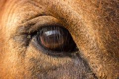 Feche acima do olho da vaca marrom do jérsei de Holstein da criança de 5 anos que olha a câmera imagens de stock royalty free