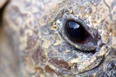 Feche acima do olho de uma tartaruga fotografia de stock