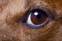 feche acima do olho do cão Fotos de Stock