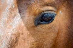 Feche acima do olho marrom do cavalo Fotografia de Stock