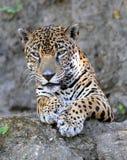 Feche acima do onca do jaguar ou do pantera, guatemala imagem de stock