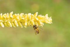 Feche acima do pólen amarelo do coco com abelha do voo Fotos de Stock Royalty Free