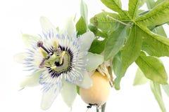 Feche acima do passiflora imagem de stock royalty free