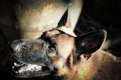 Feche acima do pastor alemão ou do Alsatian, pastor alemão novo, pastor alemão na grama, cão no parque Fotografia de Stock