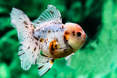 Feche acima do peixe dourado no aquário Foto de Stock