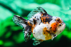 Feche acima do peixe dourado no aquário Imagem de Stock