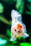 Feche acima do peixe dourado no aquário Fotos de Stock Royalty Free