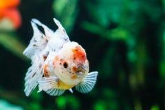 Feche acima do peixe dourado no aquário Imagens de Stock Royalty Free
