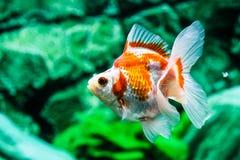 Feche acima do peixe dourado no aquário Imagem de Stock Royalty Free