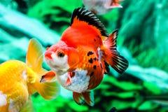 Feche acima do peixe dourado no aquário Foto de Stock Royalty Free