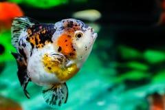 Feche acima do peixe dourado no aquário Fotografia de Stock Royalty Free