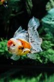Feche acima do peixe dourado no aquário Fotos de Stock