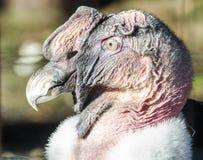 Feche acima do perfil do abutre Imagem de Stock Royalty Free