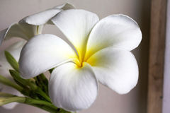 Feche acima do plumeria encantador eautiful da flor branca Fotografia de Stock Royalty Free