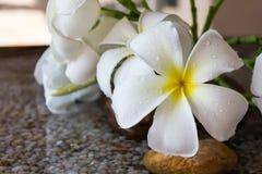 Feche acima do plumeria encantador eautiful da flor branca Imagem de Stock