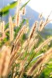 Feche acima do Poaceae Imagens de Stock Royalty Free