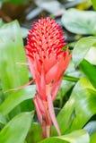 Ponto da flor de Bromeliad Fotografia de Stock