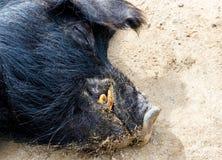 Feche acima do porco preto da Guiné que encontra-se na sujeira fotografia de stock