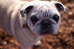 Feche acima do Pug Fotos de Stock Royalty Free