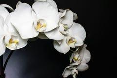 Feche acima do pulverizador branco da orquídea das flores em um fundo preto destacado com a garganta amarela e roxa Macro da flor imagens de stock