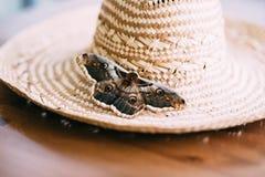 Feche acima do pyri gigante do Saturnia da traça do pavão que senta-se no chapéu de palha Foto de Stock Royalty Free