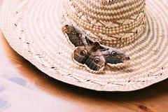 Feche acima do pyri gigante do Saturnia da traça do pavão que senta-se no chapéu de palha Fotografia de Stock Royalty Free